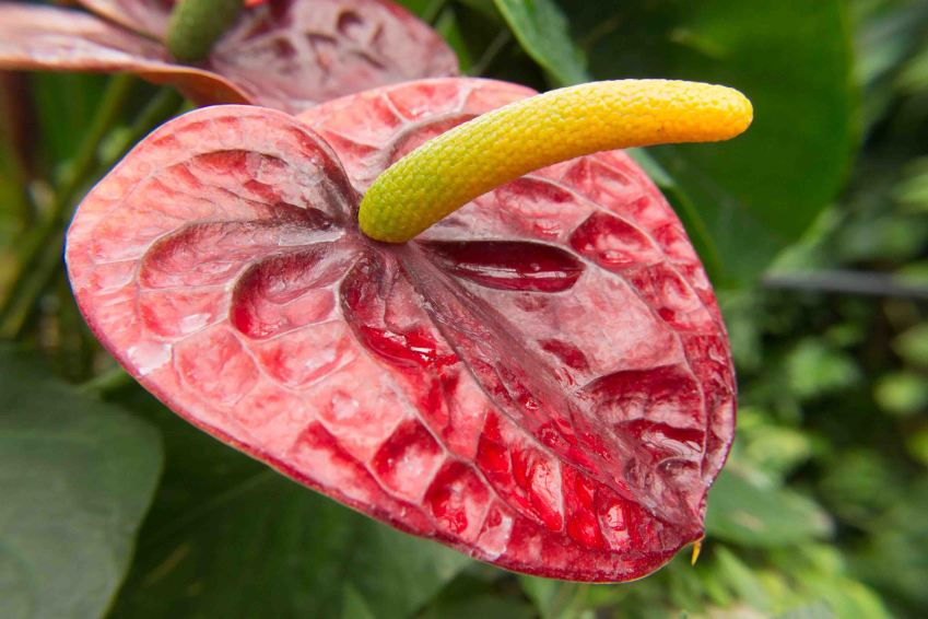 Anthurium, Franklin Park Conservatory, Columbus, Ohio
