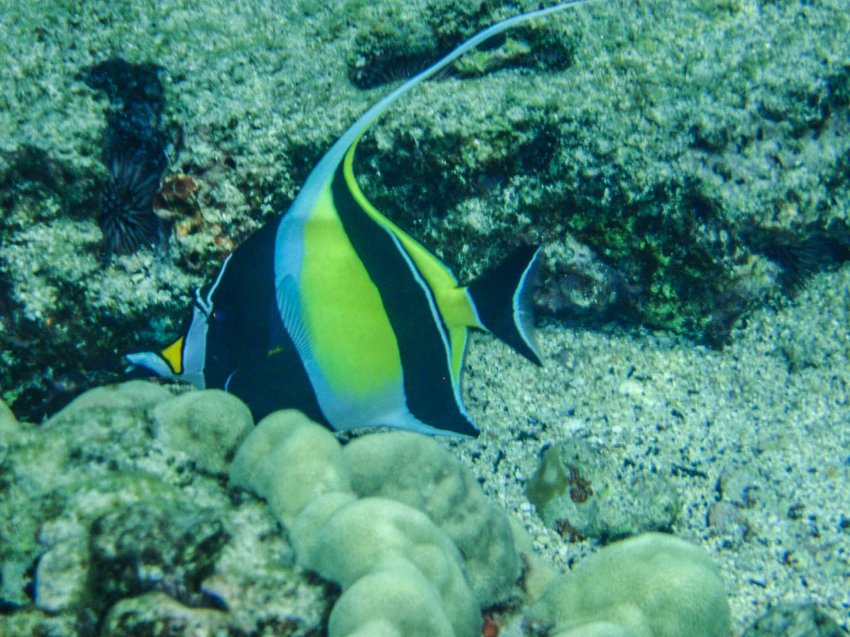 Kihi kihi (moorish idol), Kahuluu Beach Park, Big Island of Hawaii