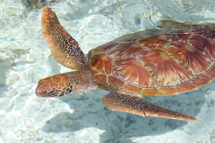 Sea Turtle at the Bora Bora Turtle Center at Le Méridien