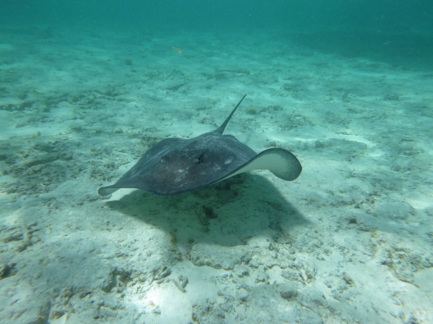 A stingray moving through the water, Bora Bora
