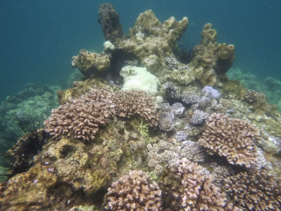 Coral gardens at Koh Wao