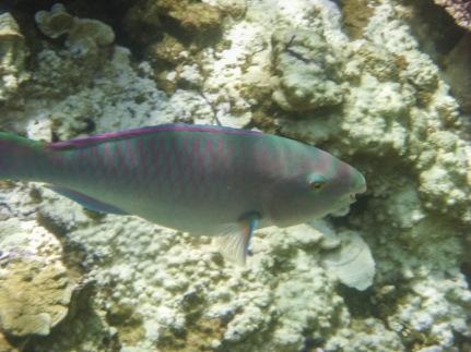 Parrotfish, Koh Tao