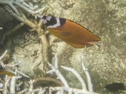 Butterflyfish, Koh Tao