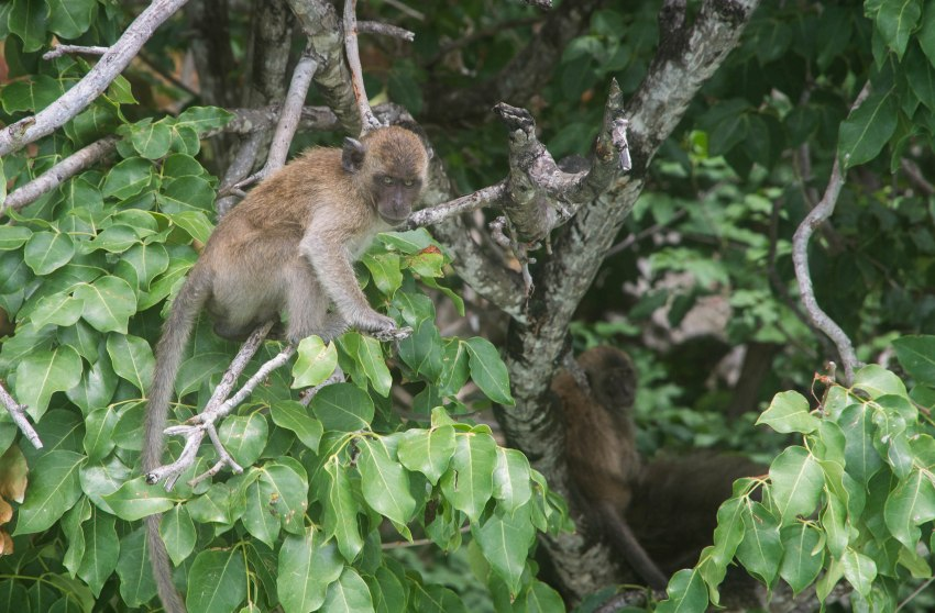 A monkey at Monkey Beach