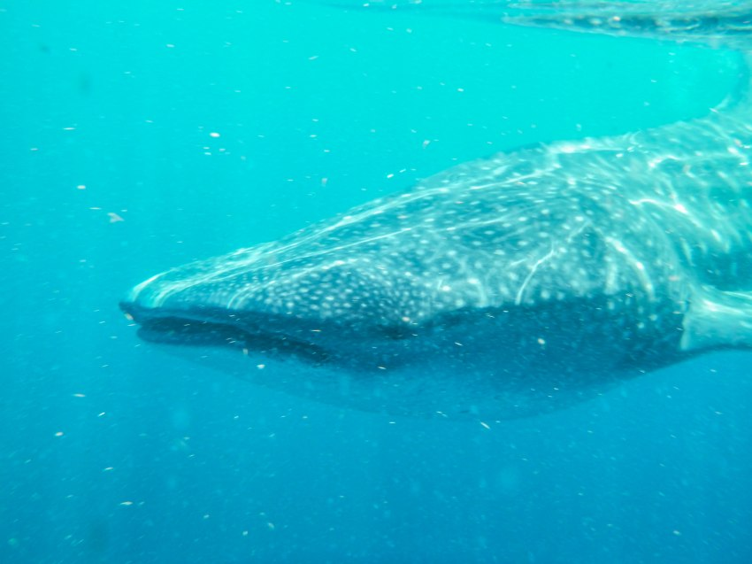 Whale shark close-up