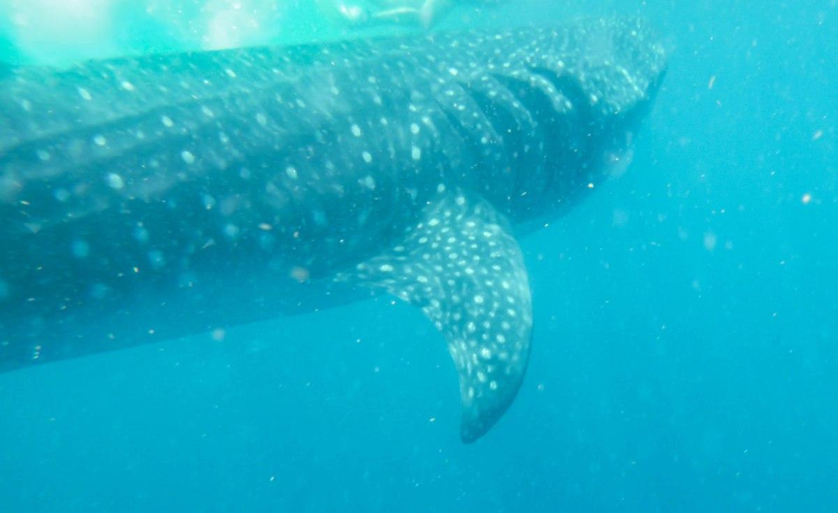 Swimming alongside a whale shark