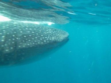 Whale shark, Quintana Roo, Mexico